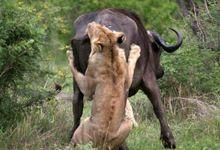 水牛与狮群殊死搏斗 力竭不敌头角狠狠刺穿狮子