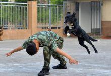 最帅的汪星人!重庆武警可爱又敬业的工作犬们