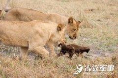 动物界疯子——蜜獾:拳打狮虎豹 捕食鳄鱼巨蟒