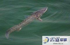 渔民捕获27斤中华鲟放生 水中巨怪大得吓人